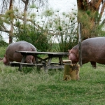 Hippos near the tents