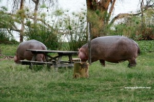 Hippos next to the camp